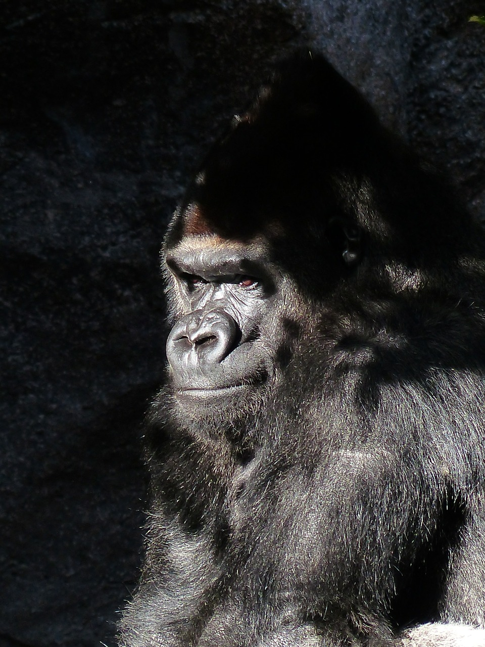 gorilla monkey view free photo
