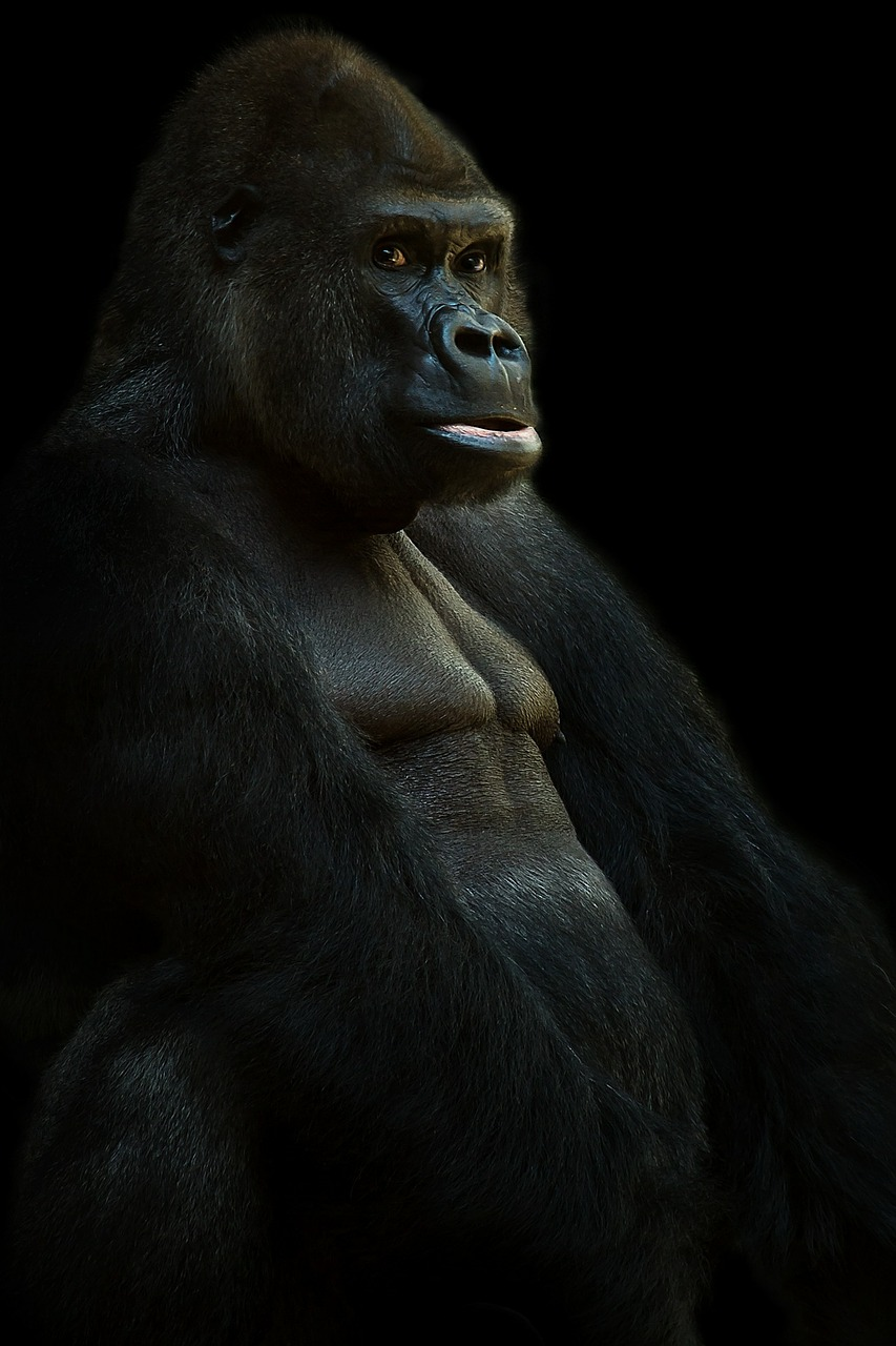 gorilla silverback ape free photo