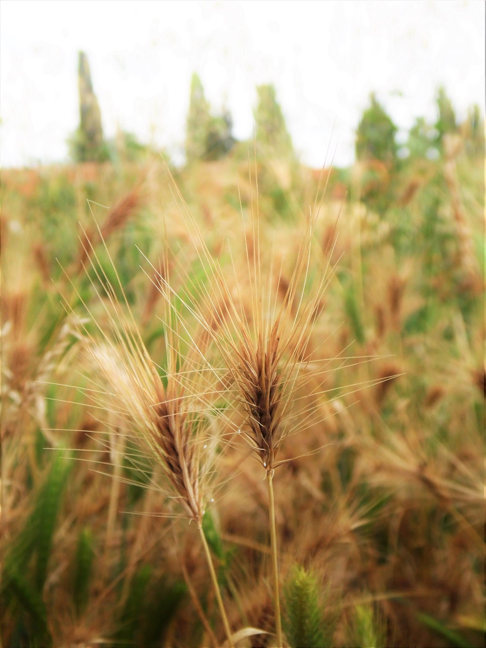 grain  wheat  close up free photo