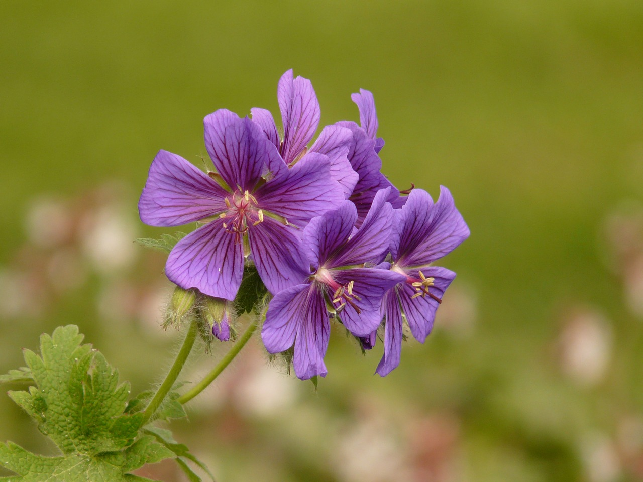 grand geranium cranesbill flower free photo