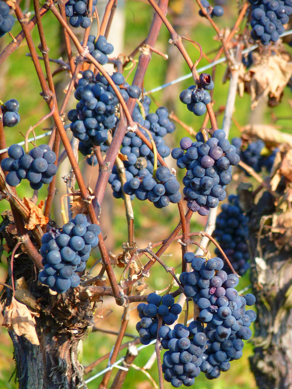 grape,grapes,fruit,vine,cultivation,wine,blue,free pictures, free photos, free images, royalty free, free illustrations, public domain