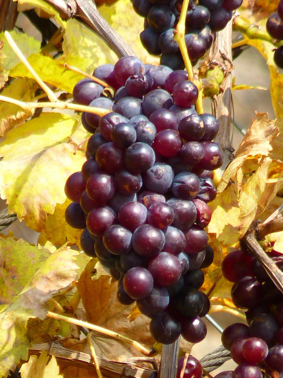 grape grapes fruit free photo