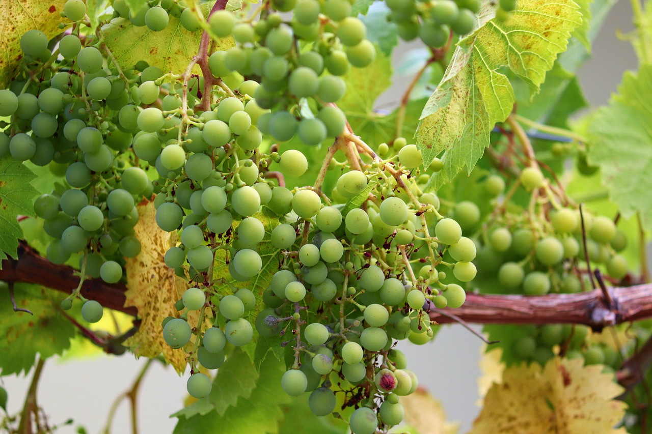 grape  grapes  vines free photo