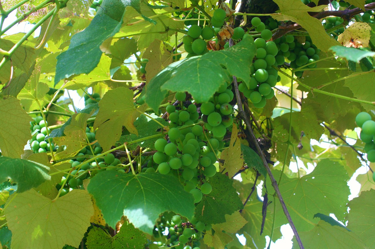 grapes grapevine green free photo
