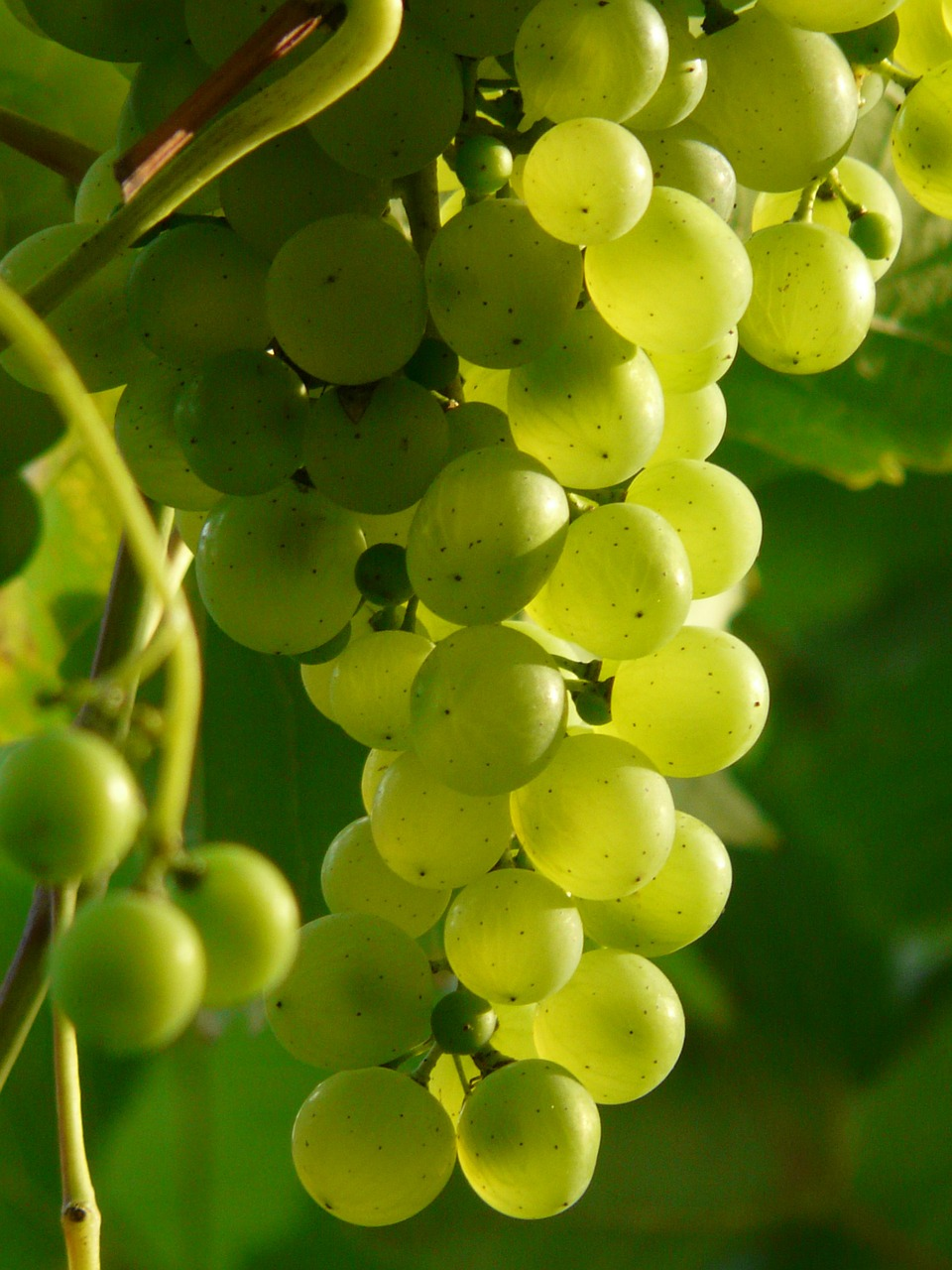 grapes wine plant free photo