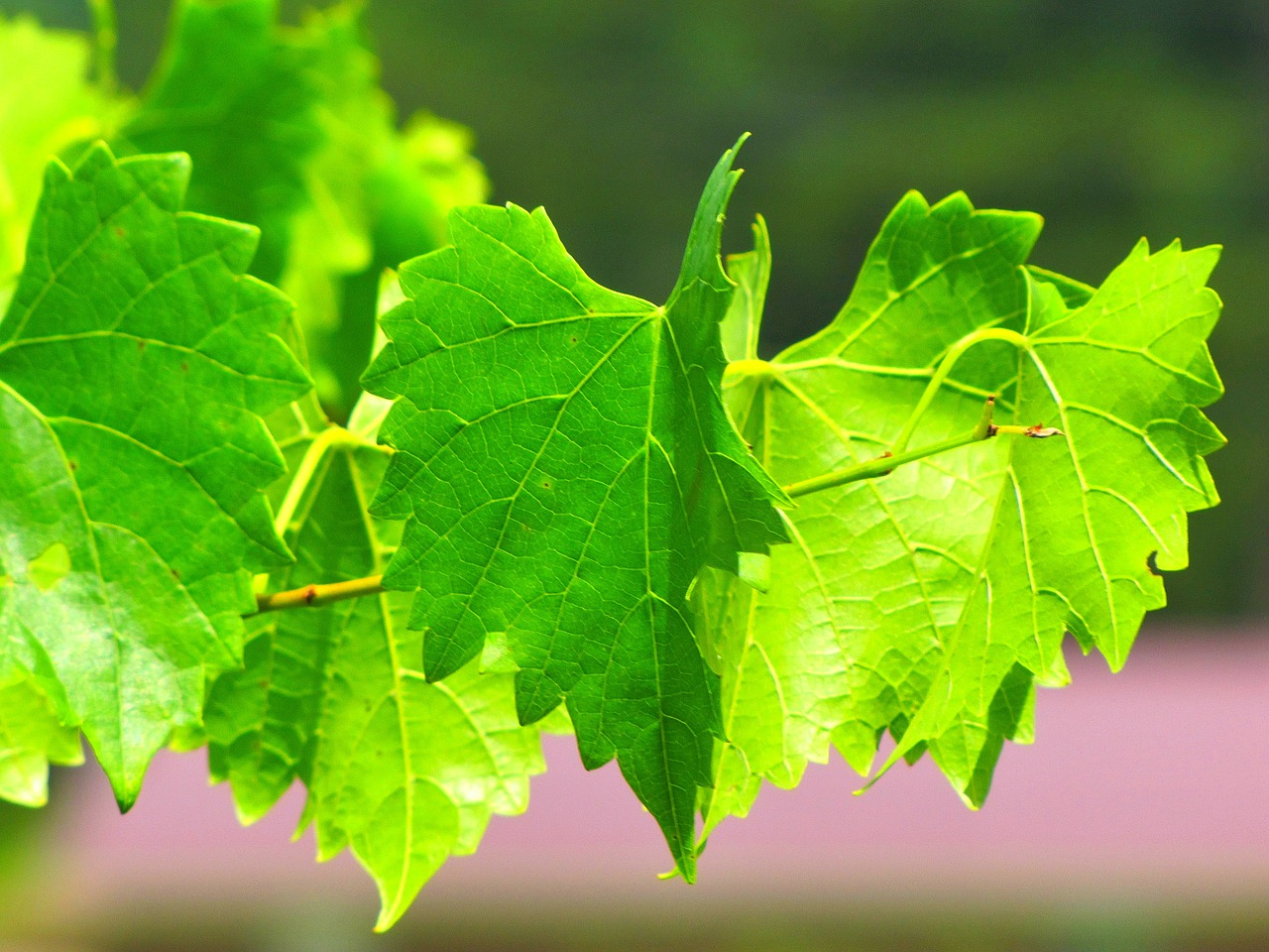 grapevine vine plant free photo