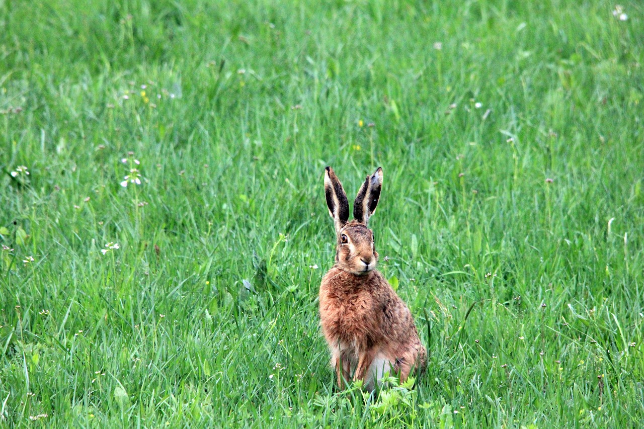 grass meadow hare free photo
