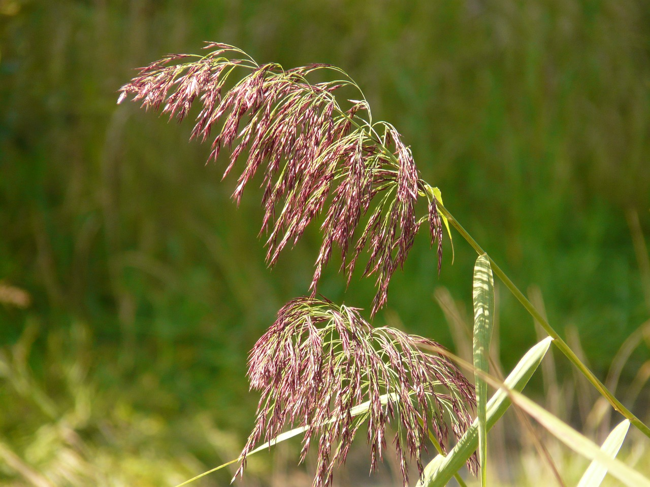 grass reed plant free photo