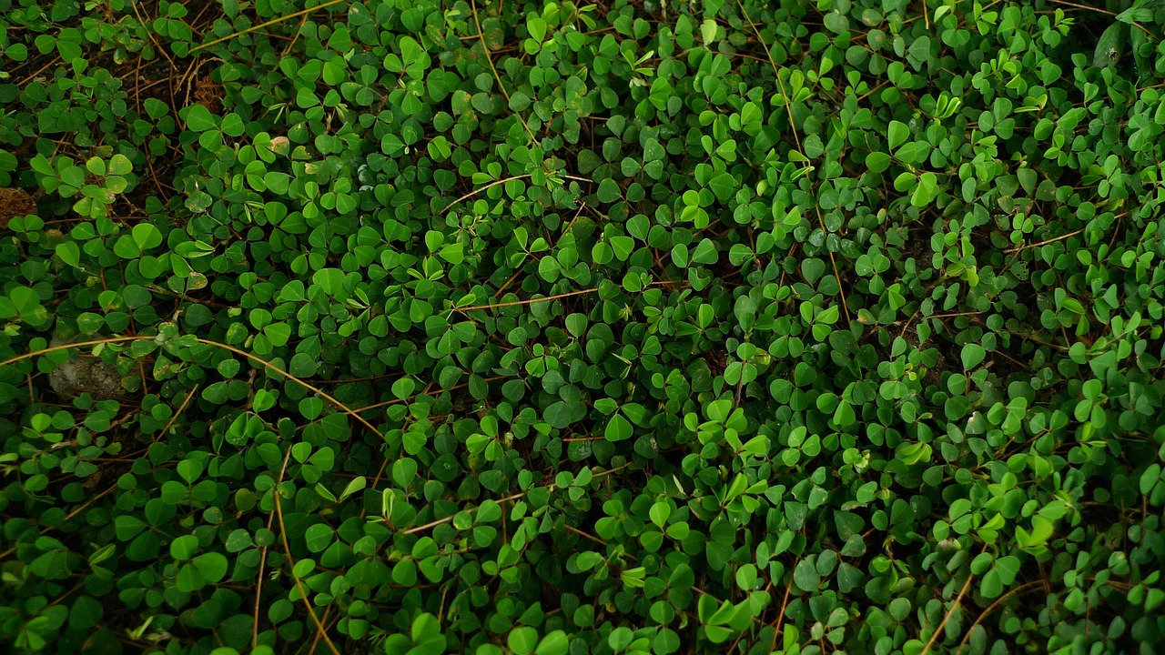small green leaves,creeping foliage,carpet of greenery,background,grass covers the ground,herbs,lawn,green leaf,nature,field,green,pre,flora,plant,botany,plants,summer,garden,wallpaper,free pictures, free photos, free images, royalty free, free illustrations, public domain