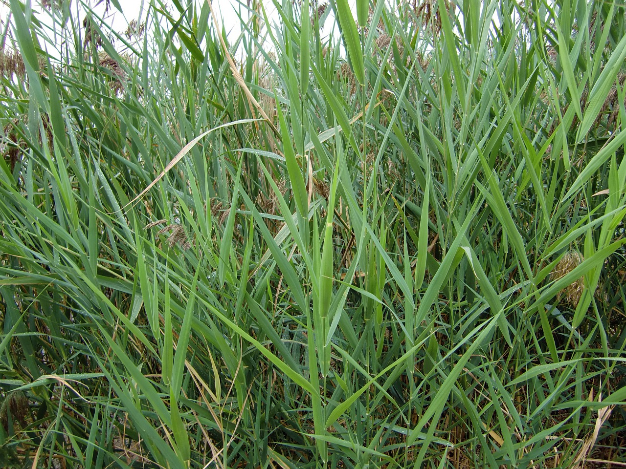 grasses nature blade of grass free photo