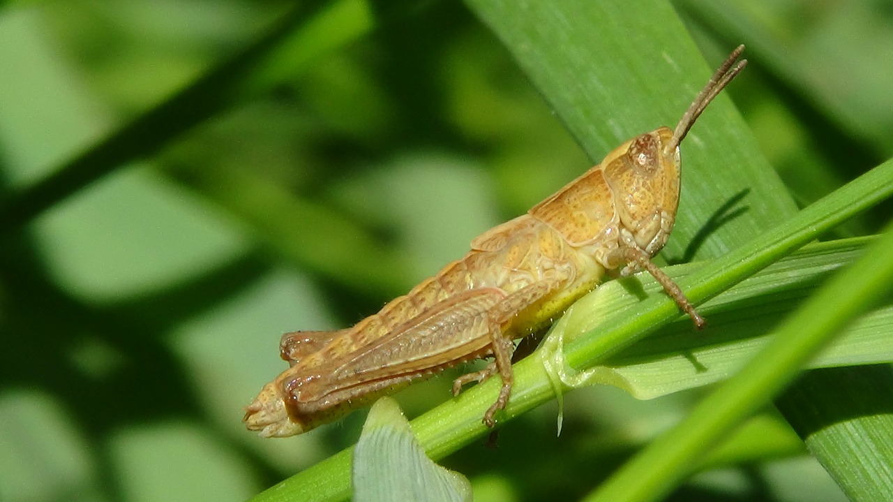grasshopper macro insect free photo