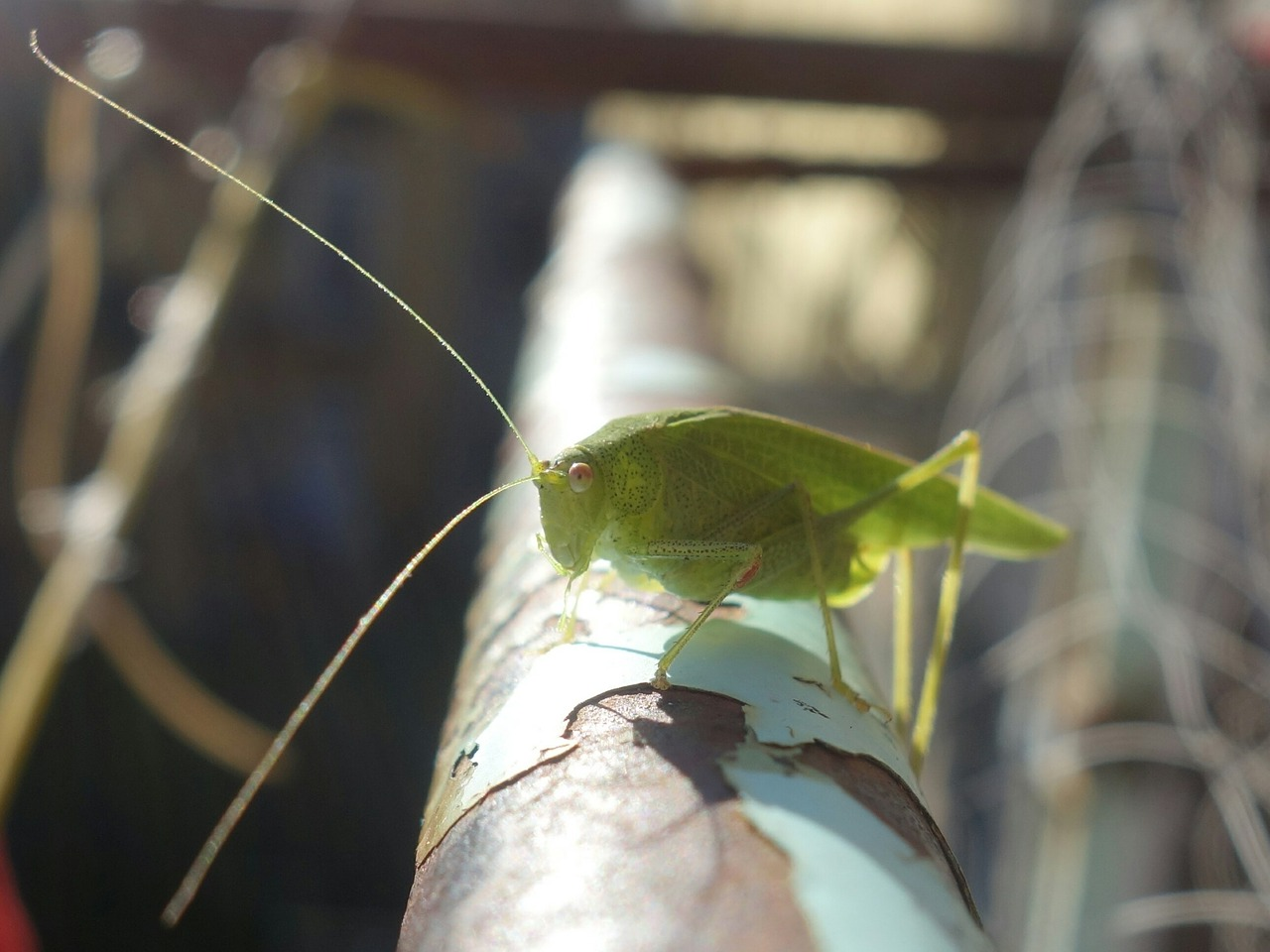 grasshopper katydid long probe shrink free photo