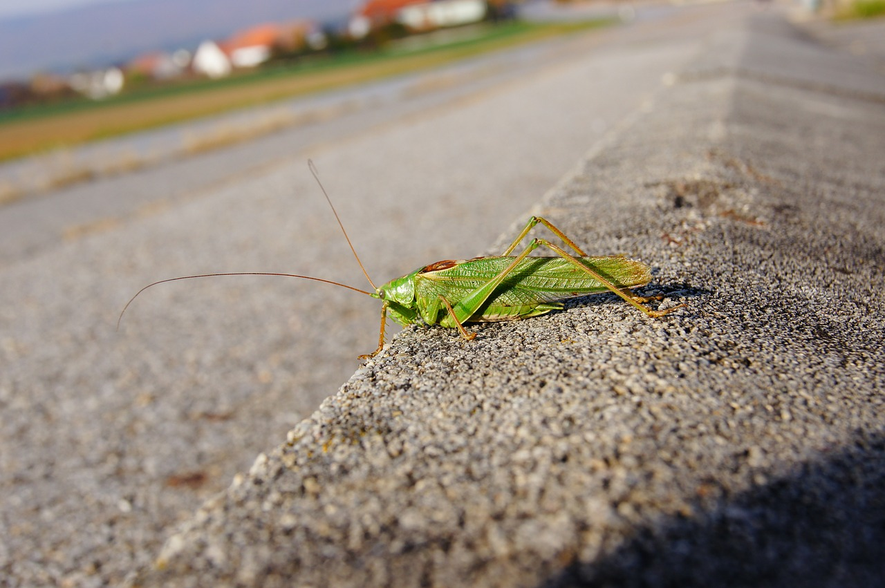 grasshopper insect green free photo