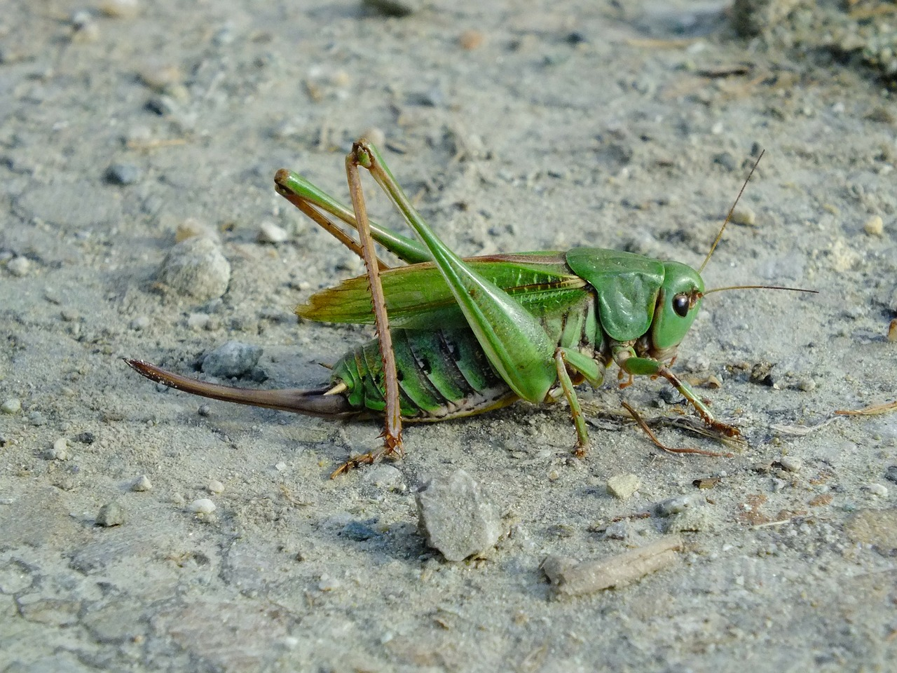 grasshopper green viridissima free photo