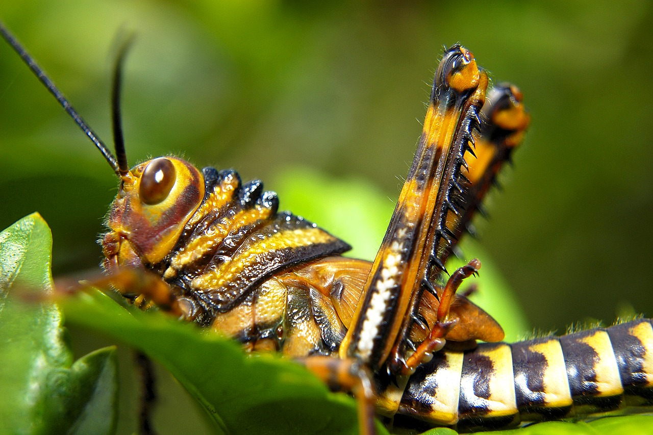 grasshopper ecuador insect free photo
