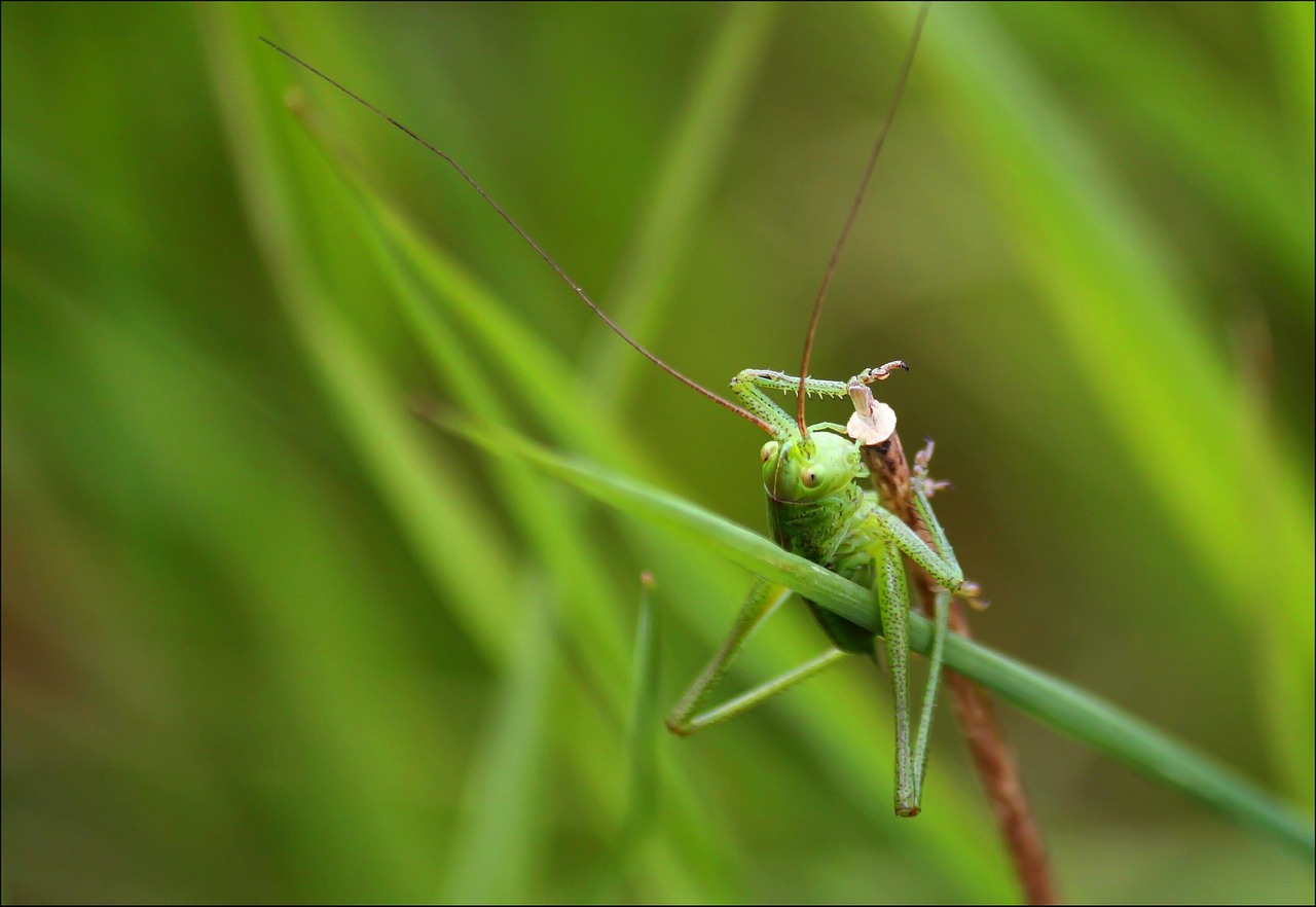 grasshopper insect close free photo