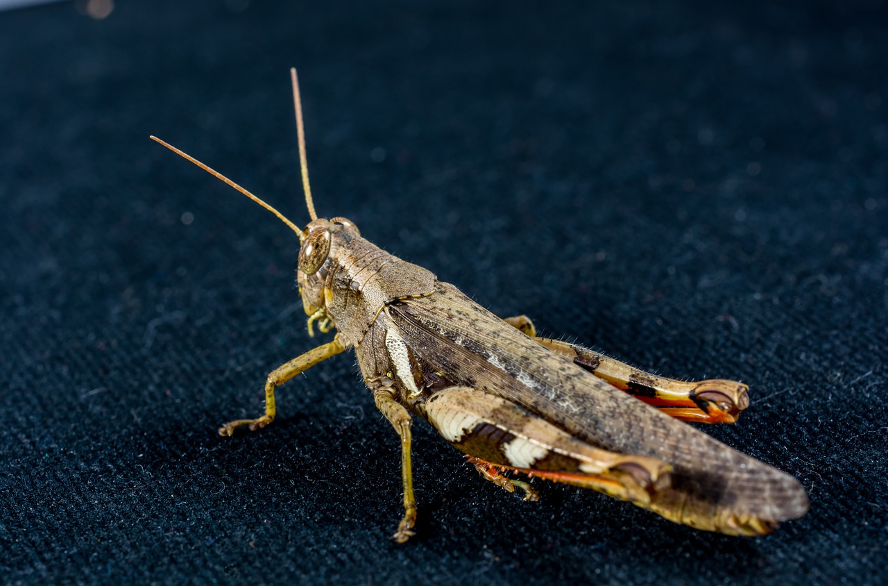 grasshopper,viridissima,insect,scare,chitin,close,free pictures, free photos, free images, royalty free, free illustrations, public domain