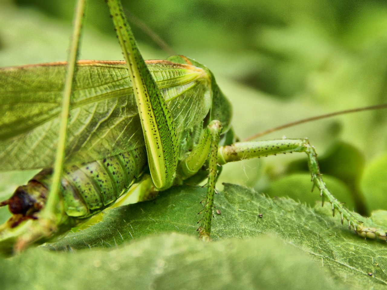 grasshopper insect antennae free picture