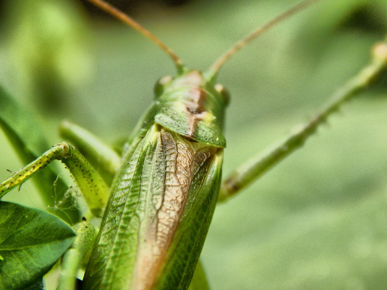 grasshopper insect antennae free photo