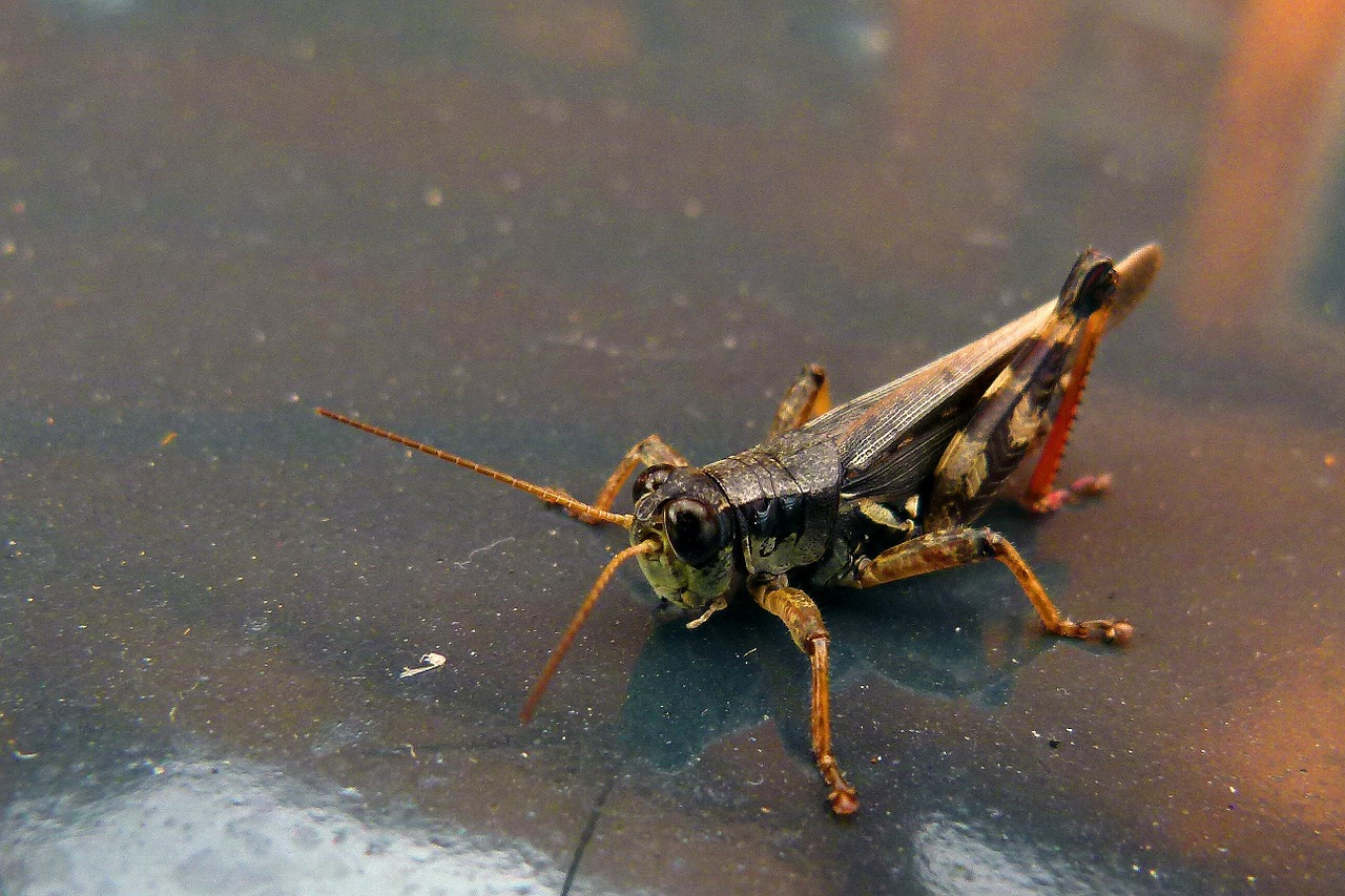 grasshopper locust animal free photo