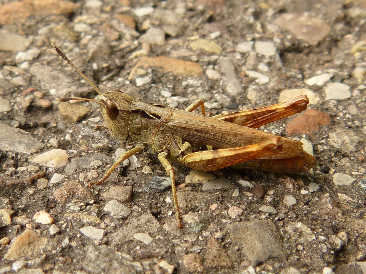 grasshopper insect animal free photo