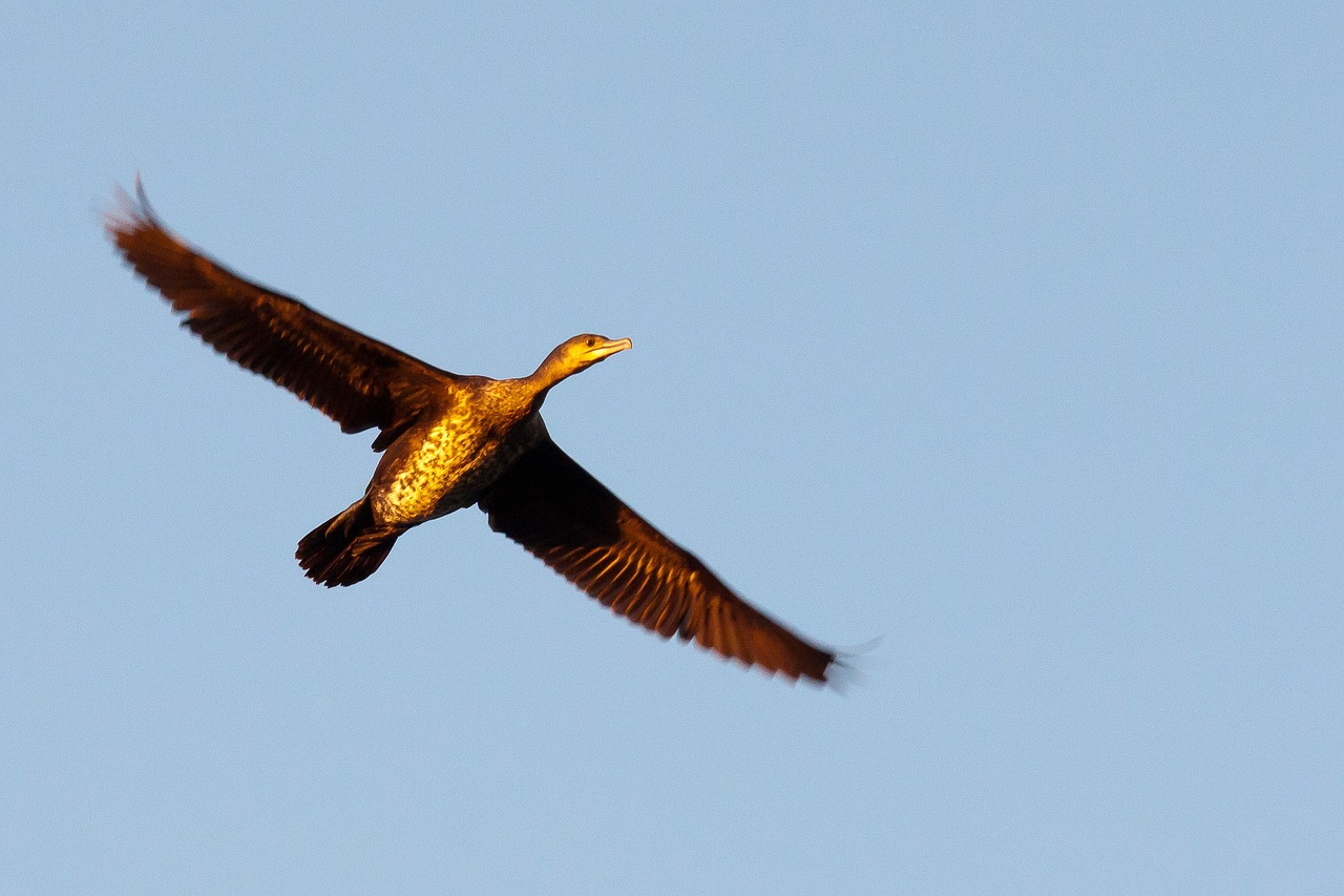 great cormorant wings bird free picture