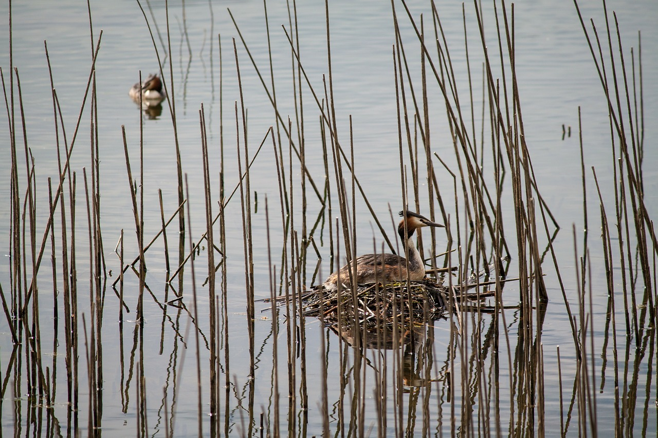 great crested grebe nest water bird free photo