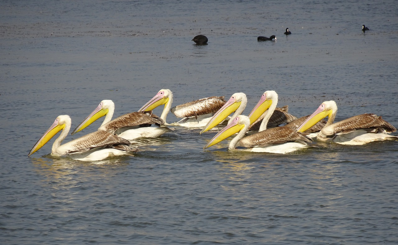 great white pelican pelecanus onocrotalus eastern white pelican free photo