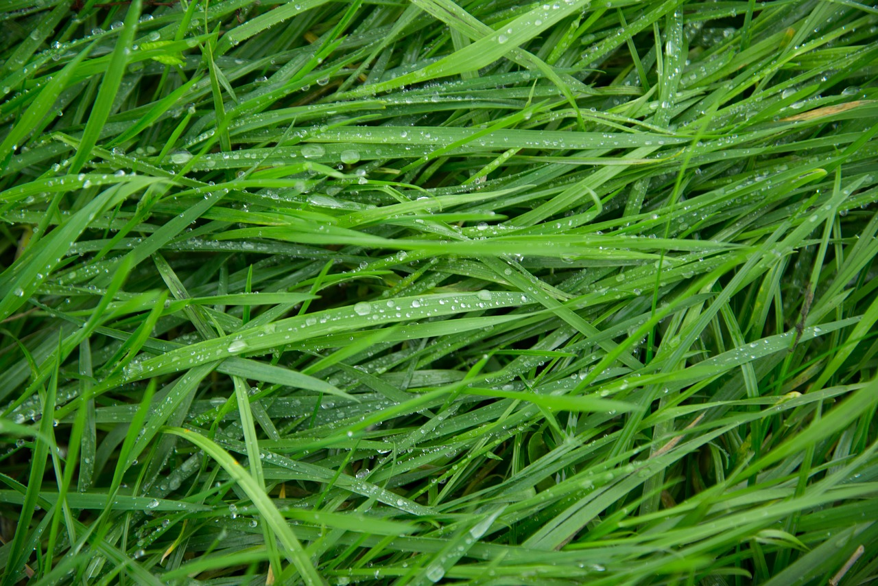green grass wet free photo