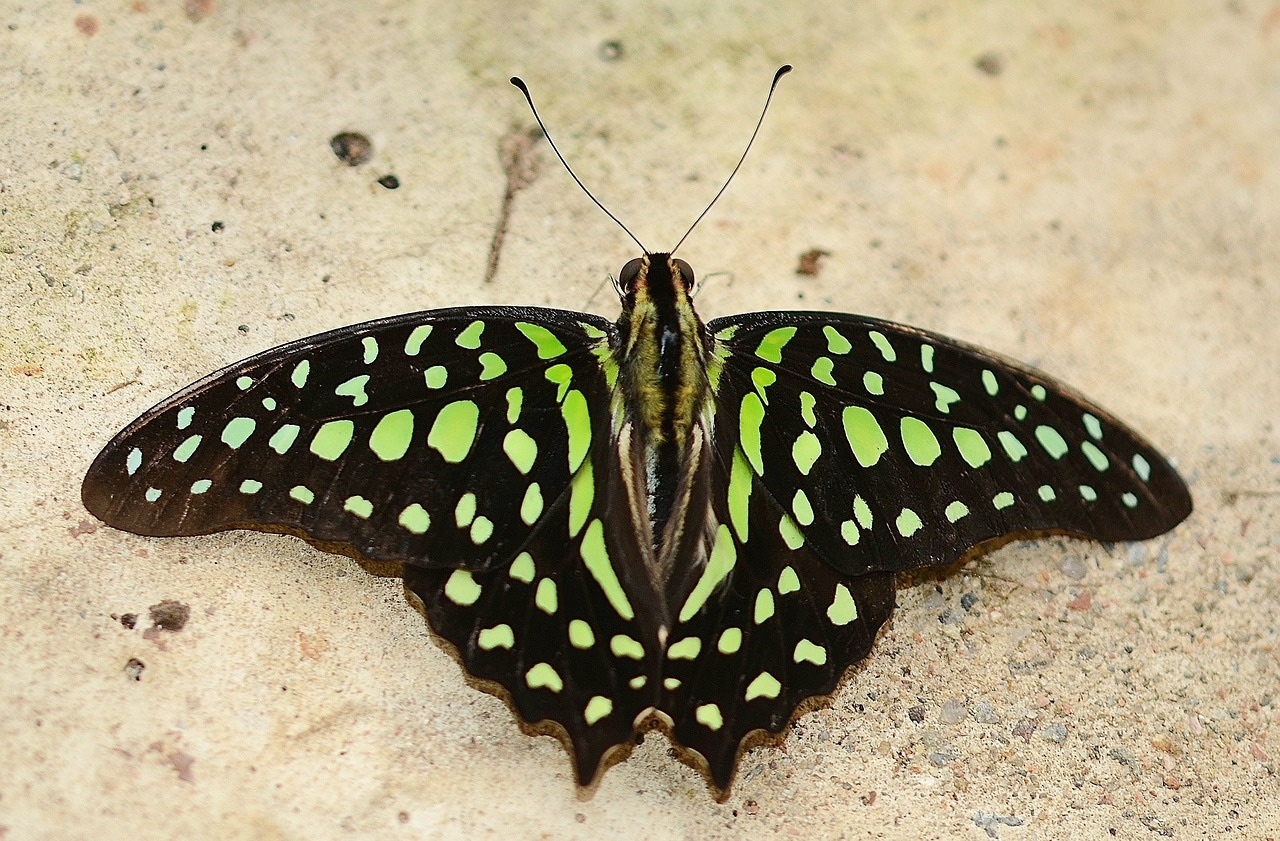 green malachite butterfly green niagara butterfly conservatory free photo