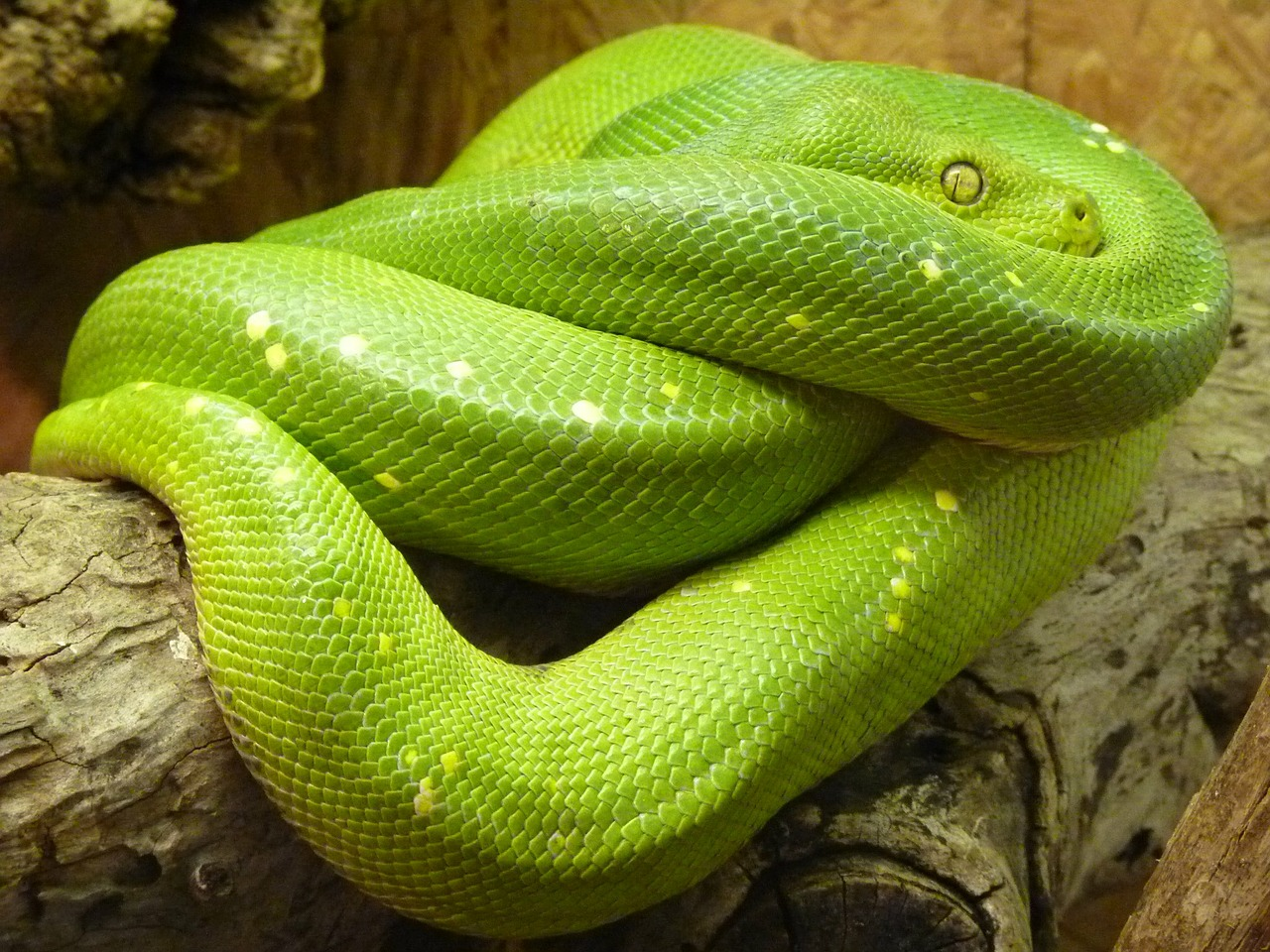 green tree python morelia viridis snake free photo