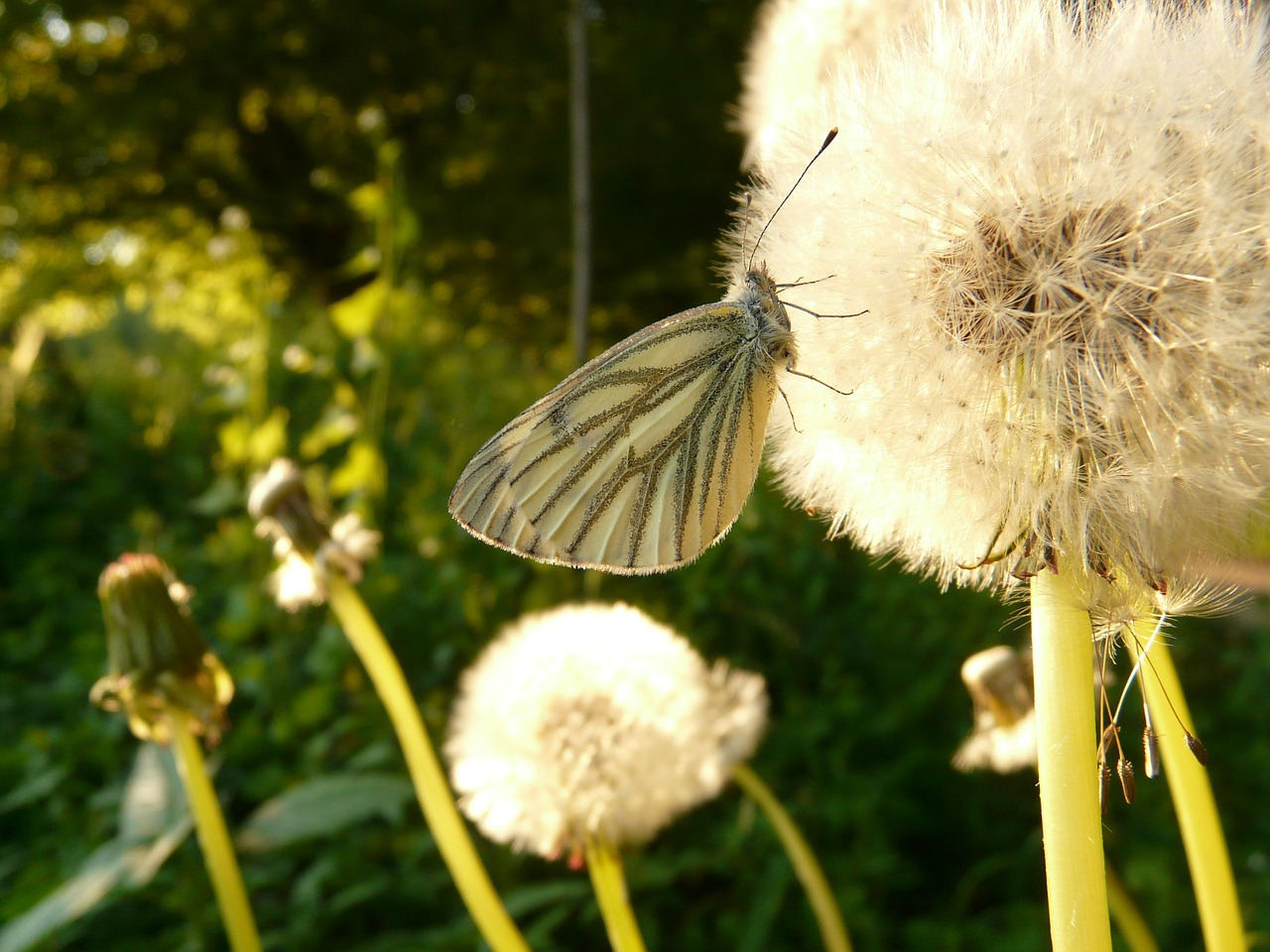 green veined white white ling butterfly free photo