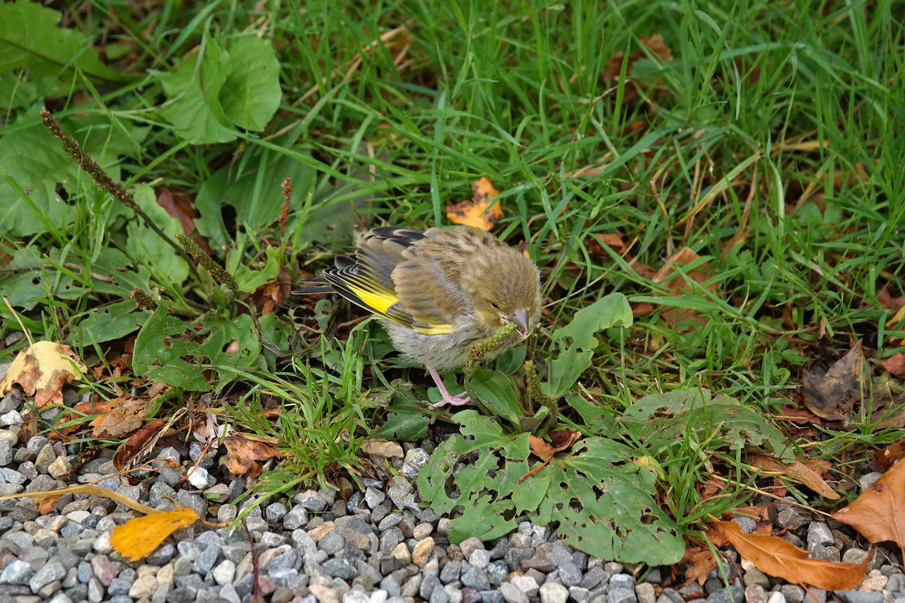 greenfinch bird fink free photo