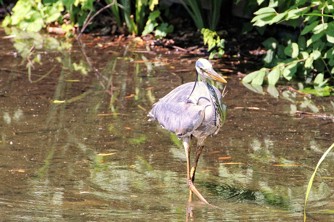 grey heron,heron,bird,eastern,intervention,water,plumage,fish eater,foraging,pond,wildlife,wildlife photography,free pictures, free photos, free images, royalty free, free illustrations, public domain
