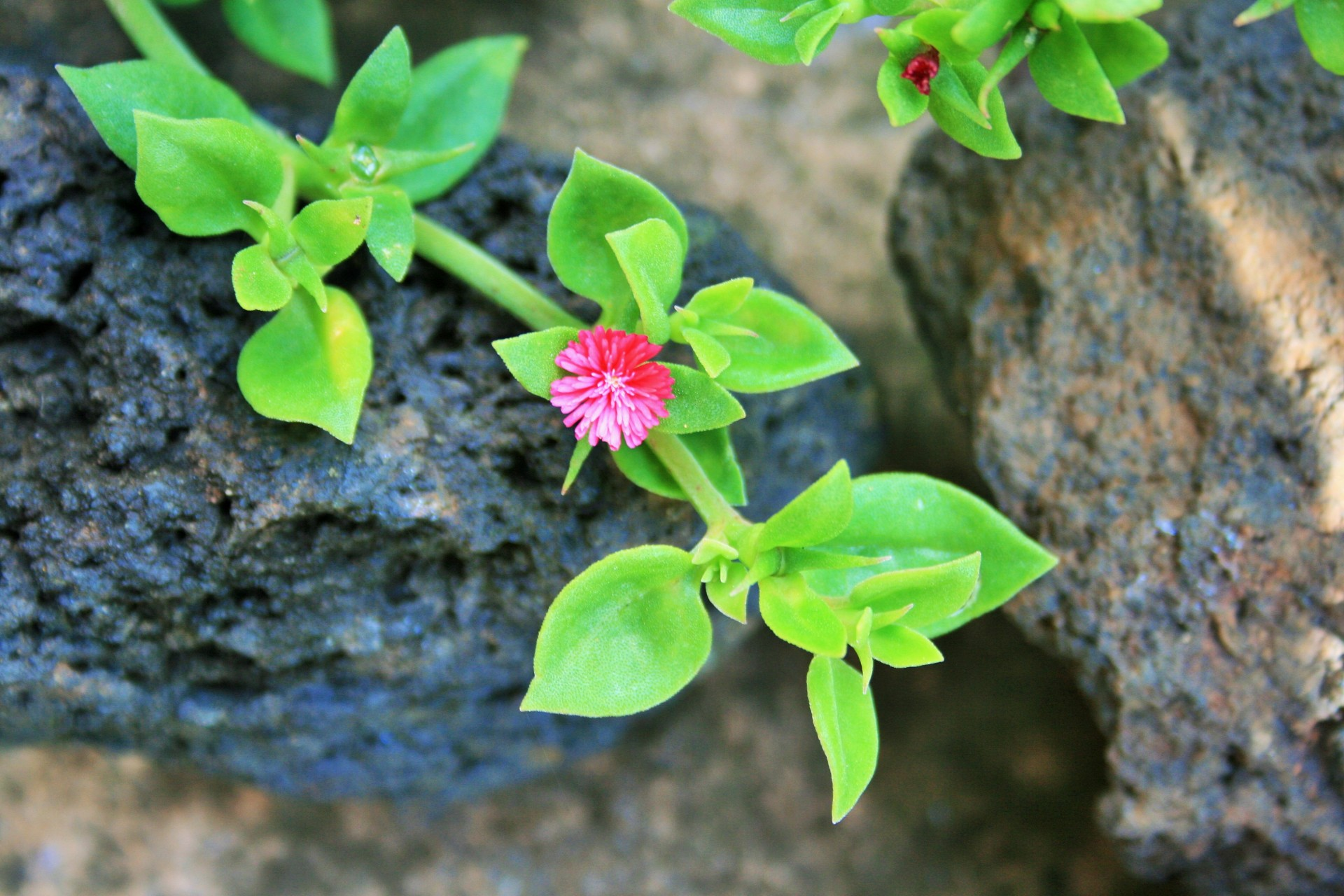 Ground Cover Succulent Flower Pink Heartleaf Free Image From