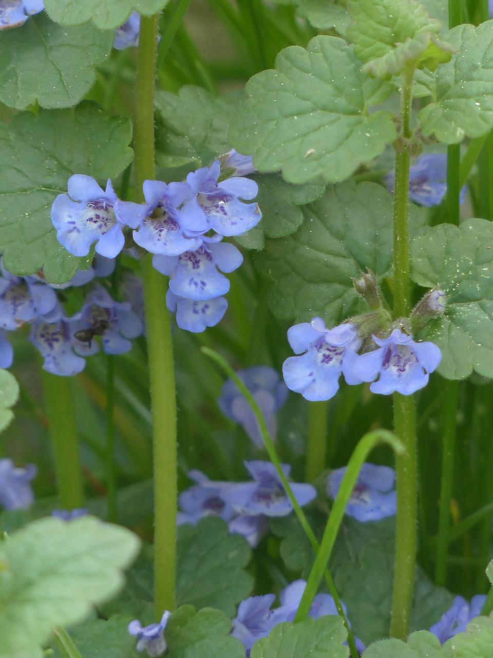 Ground Ivyflowerblossombloomplant Free Photo From Needpix