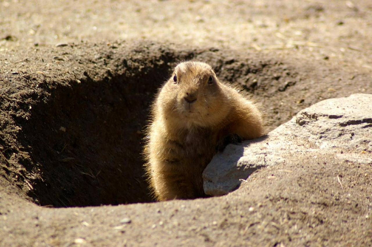 groundhog rodent shadow free photo
