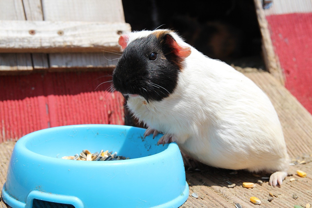 guinea pigs pet rat pet free photo