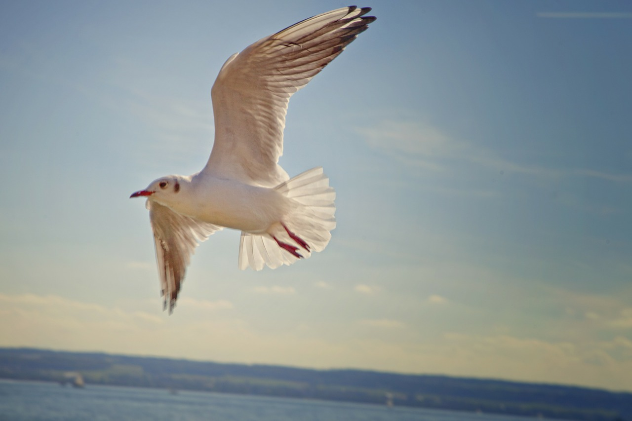 gull bird flying free photo