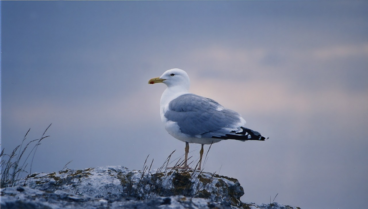 gull bird gotland free photo