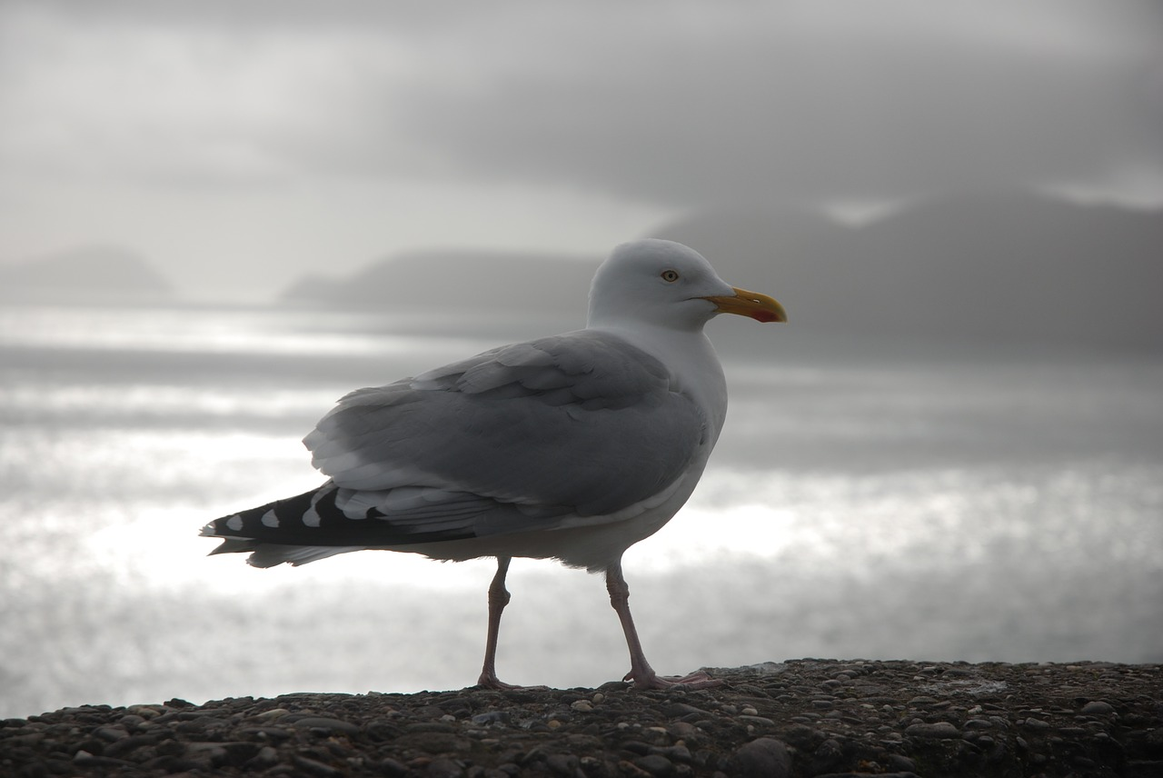 gull ireland dingle free photo