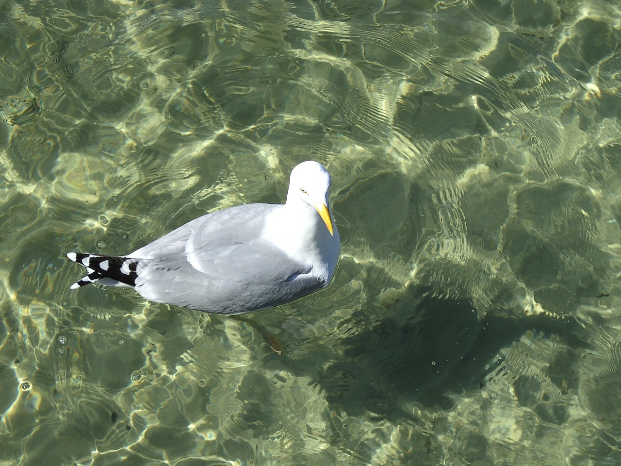 gull water nature free photo