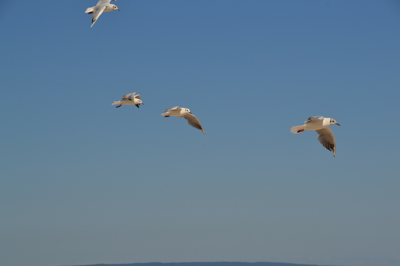 gulls birds sky free photo