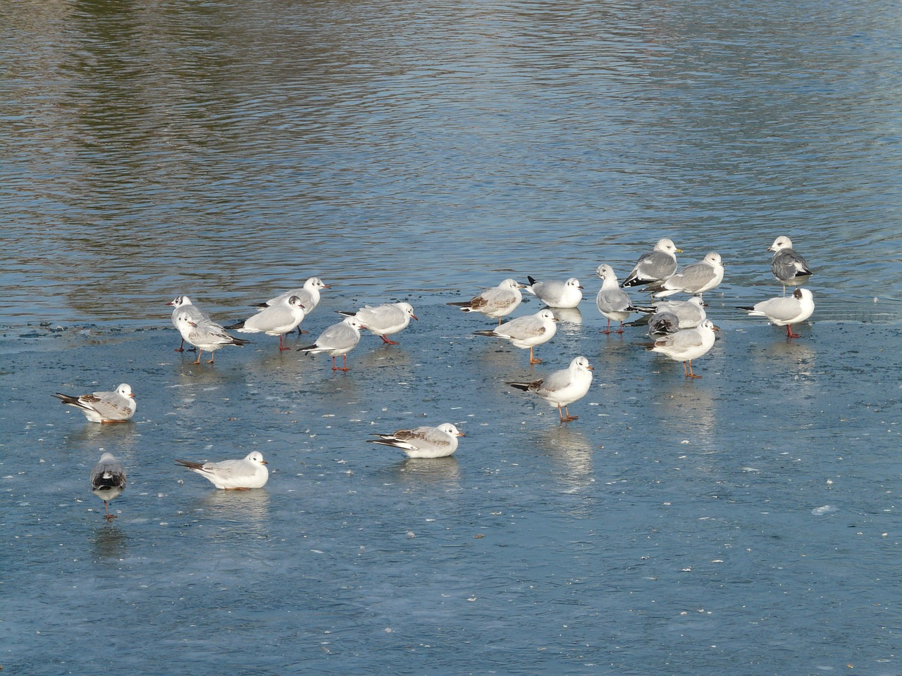 gulls birds waser free photo