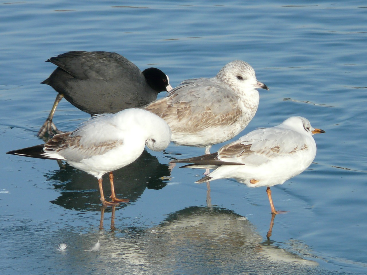 gulls,bird,animal,creature,cold,stand,one,ice,winter,coot,outsider,free pictures, free photos, free images, royalty free, free illustrations, public domain