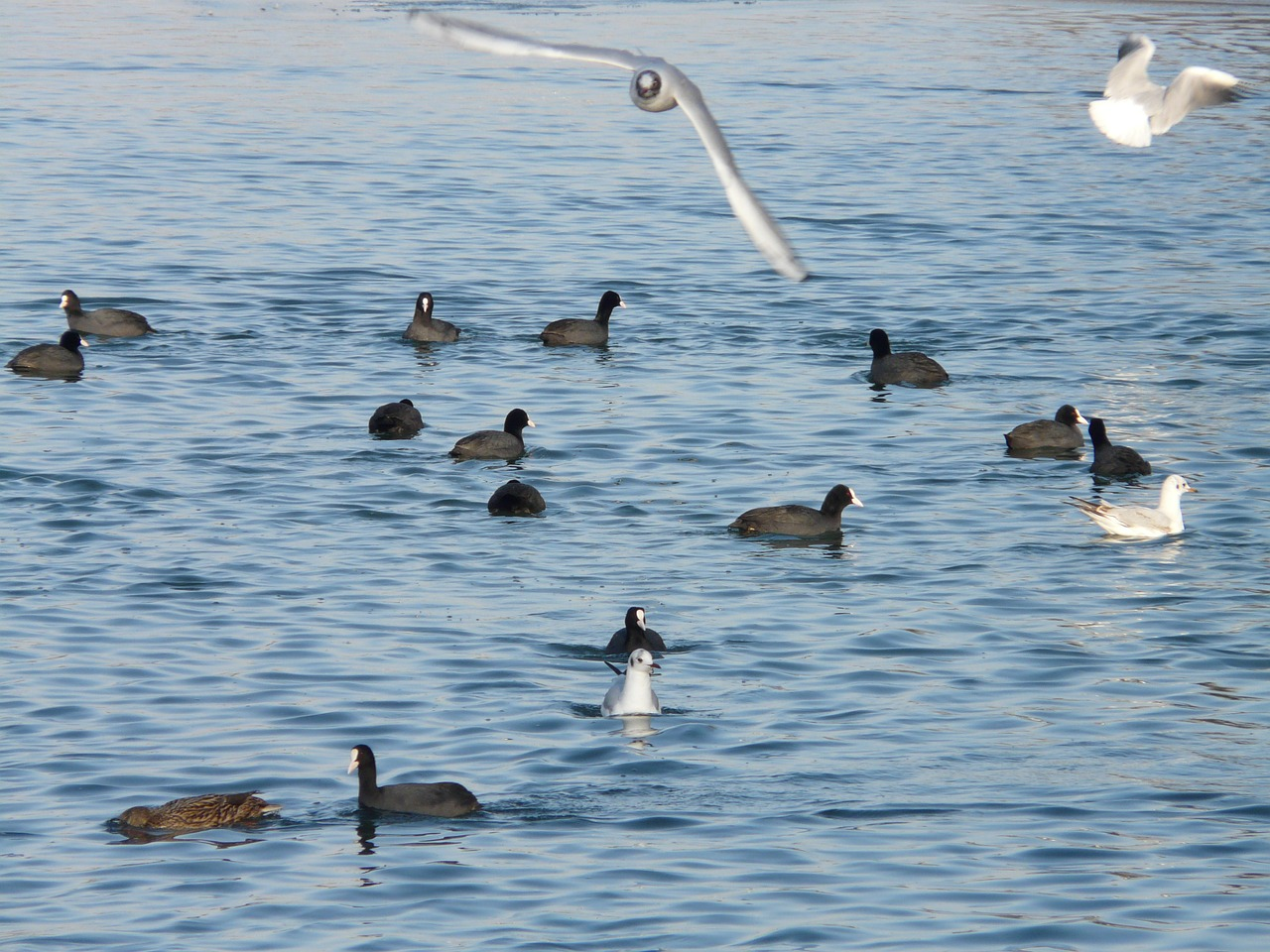 gulls coots water free photo