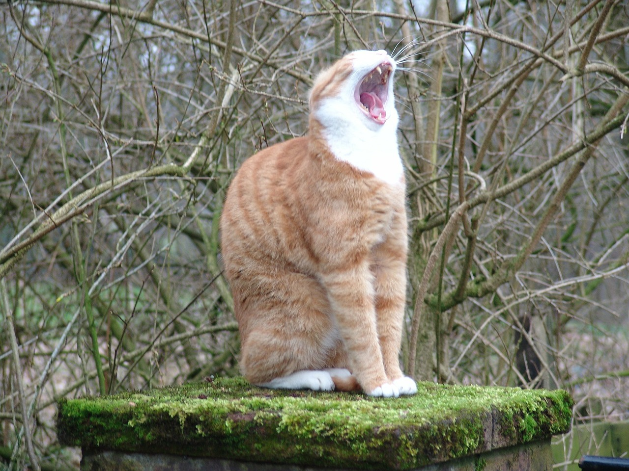cat yawn free pictures free photo