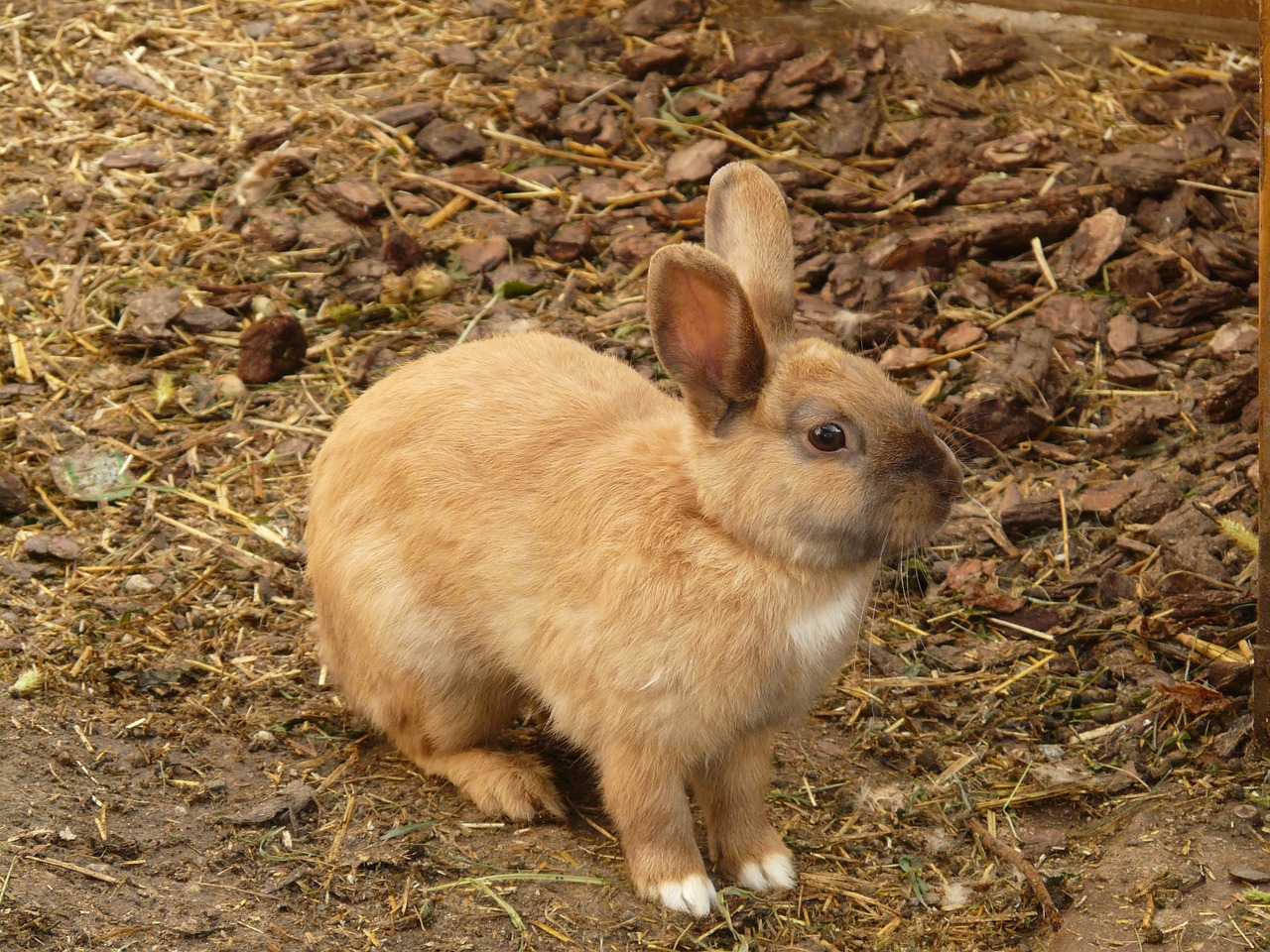 hare rabbit dwarf bunny free photo