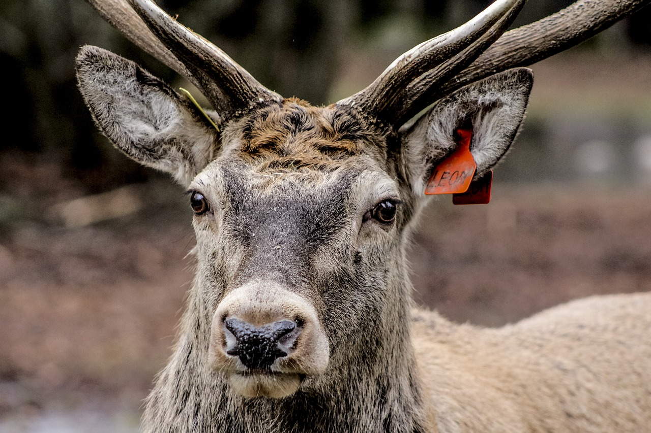 hart the head of the horns free photo