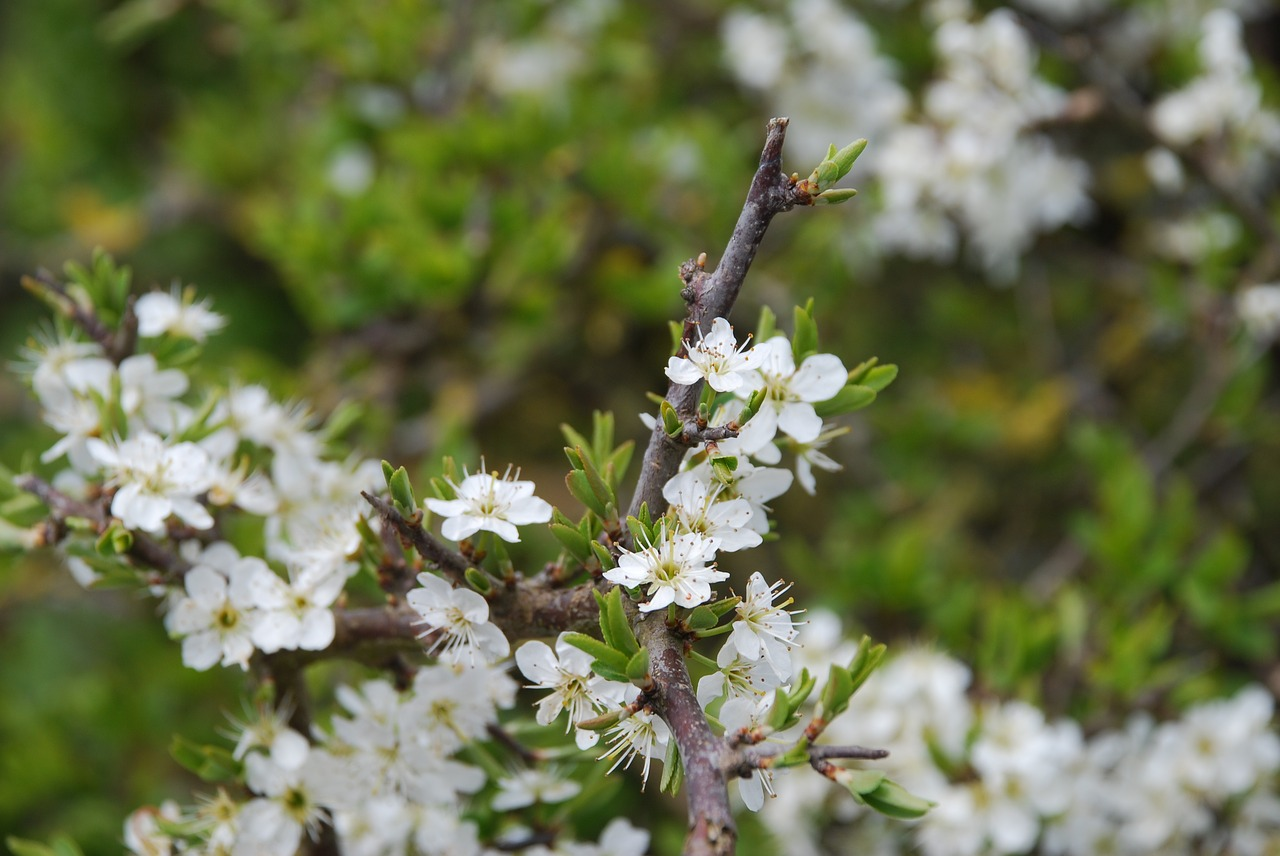hawthorn  blossom  flowers free photo